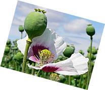 1 OUNCE AFGHANISTAN Papaver Somniferum Viable Opium Poppy