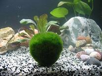 Roodle 1 Giant ~2-Inch Living Marimo Moss Ball Bundle with 1
