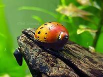1 Tiger Nerite Snail  - Live Snail by Aquatic Arts