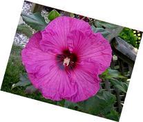 10 Plum Crazy Hibiscus Seeds