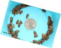 50 Extra Small Dubia Roaches by DubiaRoaches.com
