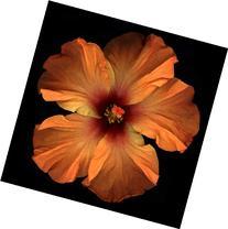 17x22 in. Harold Feinstein Orange Chinese Hibiscus