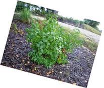 """25 Lilac  6-12"""" seedlings"""