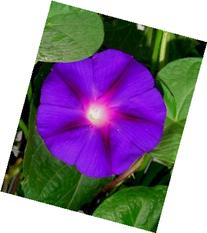 9GreenBox - Grandpa Ott Morning Glory - 20 Seeds