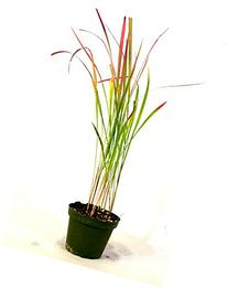 9GreenBox - Japanese Blood Grass - 4'' Pot