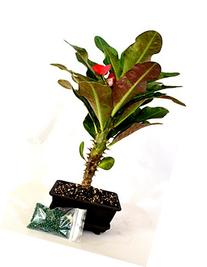 9GreenBox - Red Crown of Thorns Bonsai with Water Tray and
