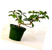 9GreenBox - Royal Purple Bougainvillea Plant -Indoors/Out or