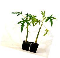 9GreenBox -TR Hovey Papaya Carica L. Caricaceae ~ Miniature