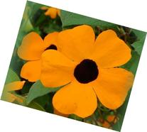 Black Eyed Susan Vine 30 Seeds Thunbergia