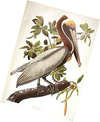 """Brown Pelican. From """"The Birds of America""""  Pl. 251"""