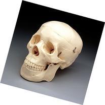Budget Life-Size Skull  CS202