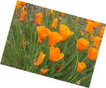 California Poppy Seeds - 8,000 Seeds - State Flower, Golden