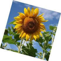 David's Garden Seeds Sunflower Mammoth Grey Stripe OS519  50
