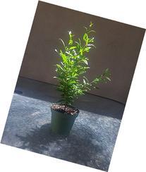 Dwarf Pomegrante Tree Container/Patio/Bonsai Size