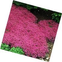 Outsidepride Magic Carpet Creeping Thyme - 500 Seeds