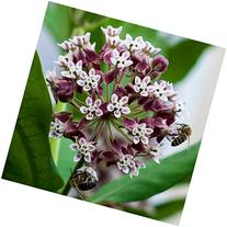 Package of 100 Seeds, Common Milkweed  Open Pollinated Seeds