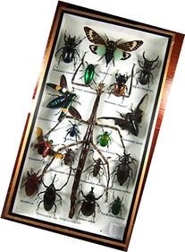 Real Display Insect Taxidermy Big Set in Box for Collectible