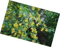 """Ribes Aureum """"Golden Currant, Clove Currant"""" 3 Native Plants"""