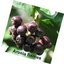 'Viking' Black Chokeberry Plant - Aronia - Shrub/Bonsai/Wine