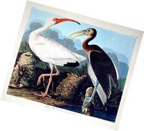 "White Ibis. ""Birds of America"