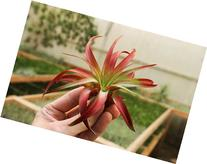 Air Plant Tillandsia Brachycaulos Red Enhanced Garden in the