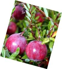 American Cranberry Bush - Great Groundcover - Delicious - 2.