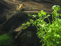 Baby Tears Plant - 2 Bunches - Live Aquarium Plants by