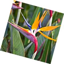 BIRD OF PARADISE LIVE PLANT Exotic Plants Orange Flower