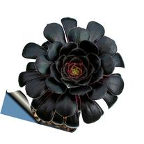 Black Rose Tree - Aeonium arboreum - RARE - Easy to grow! -