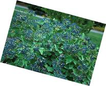 Blue Muffin® Arrowwood Viburnum Shrub - Hardy/Showy -