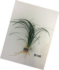 Exotic Live Aquatic Plant for Fresh Water Ophiopogon