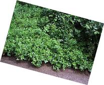 Gro-Low Fragrant Sumac - Rhus - Fragrant - Red Berries - 4""