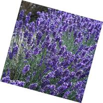 Outsidepride Lavender English - 5000 Seeds
