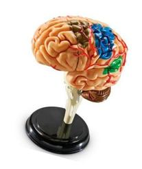 LER3335 - MODEL BRAIN ANATOMY