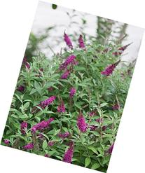Miss Molly Butterfly Bush  Live Shrub, Deep Pink Flowers, 4.