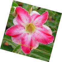 9GreenBox - Adenium Desert Rose RainBow Cloud 3~4 Years