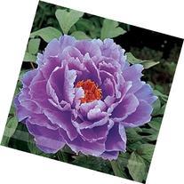 Rare Heirloom Huge Purple Ruffled Satin-like Tree Peony