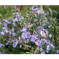 Rosemary Essential Oil  1/8 Oz High Grade