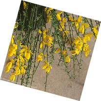 "Sister Golden Hair Scotch Broom - 4"" pot - Cytisus"