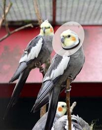 "KONG Vet Products Bird E-Collar, 6.25""-7.5""/12"