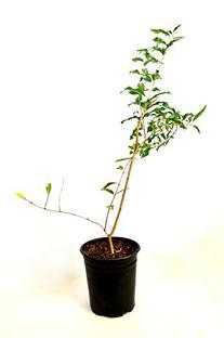 Wonderful Pomegranate Tree One Gallon Plant